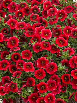Calibrachoa - Superbells® Pomegranate Punch