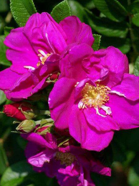 Rosa - Purple Pavement Rose