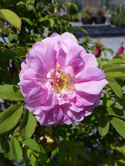 Rosa - Therese Bugnet Rose