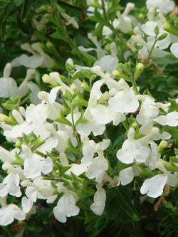 Salvia - VIBE® Ignition White Sage