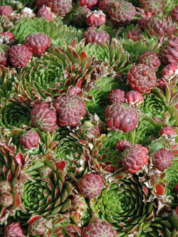 Sempervivum - Red Beauty Hens and Chicks