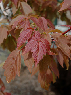 Acer - Sensation Maple