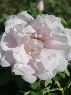Rosa - Snow Pavement Rose