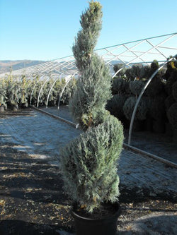 Juniperus - Spiral Wichita Upright Juniper