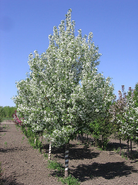 Malus - Starlite Flowering Crab