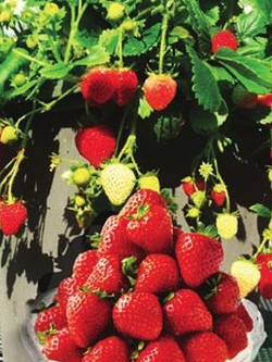 Hanging Basket - Strawberry