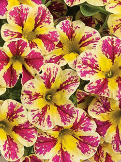 Calibrachoa - Superbells® Holy Moly