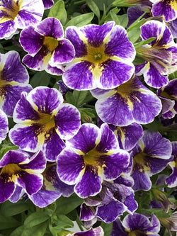 Calibrachoa - Superbells® Holy Smokes