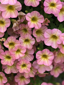 Calibrachoa - Superbells® Honeyberry