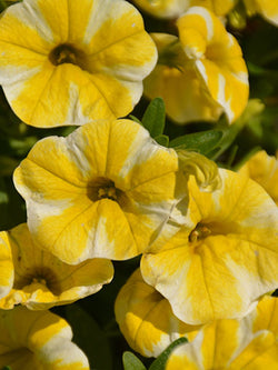 Calibrachoa - Superbells® Lemon Slice