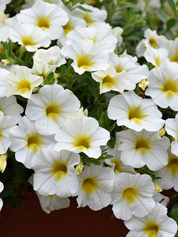 Calibrachoa - Superbells® Over Easy