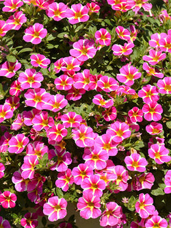 Calibrachoa - Superbells® Rising Star