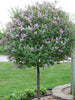 Syringa - Dwarf Korean Lilac Top Grafted
