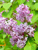 Syringa - Common Lilac