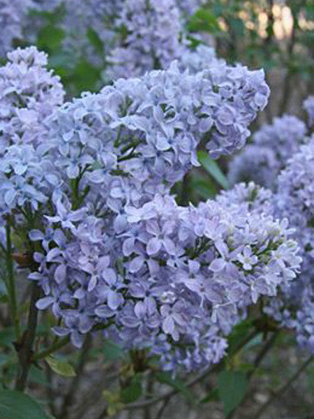Syringa vul. - Wedgewood Blue French Lilac