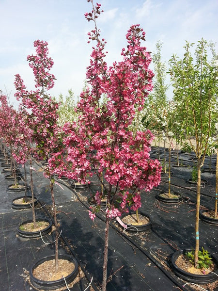 malus thunderchild flowering crab 7 gallon calgary plants online garden centre. Black Bedroom Furniture Sets. Home Design Ideas