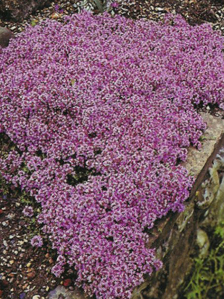 Thymus - Mother of Thyme