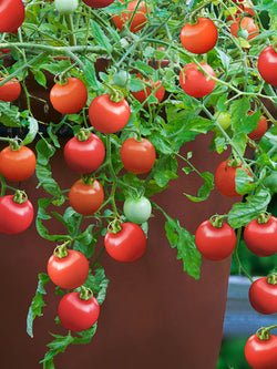 Hanging Basket - Tomato, Tumbling Tom Red