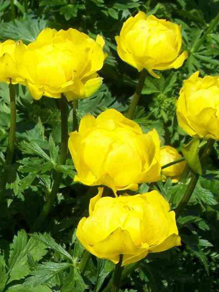 Trolius - Lemon Queen Globeflower