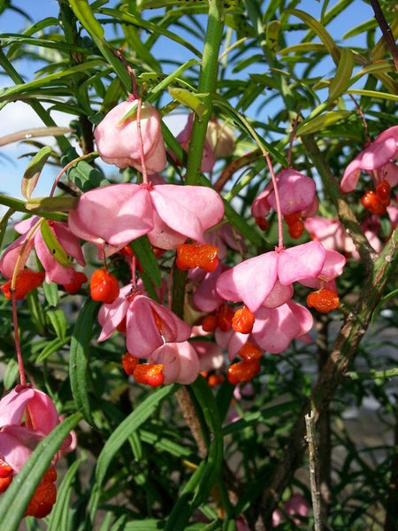 Euonymus - Turkestan Burning Bush