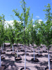 Ulmus - Brandon Elm 25 Gallon