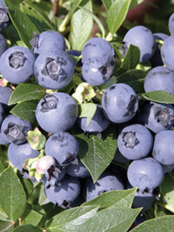 Vaccinium - Northcountry Blueberry