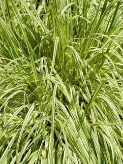 Grass - Variegated Moor