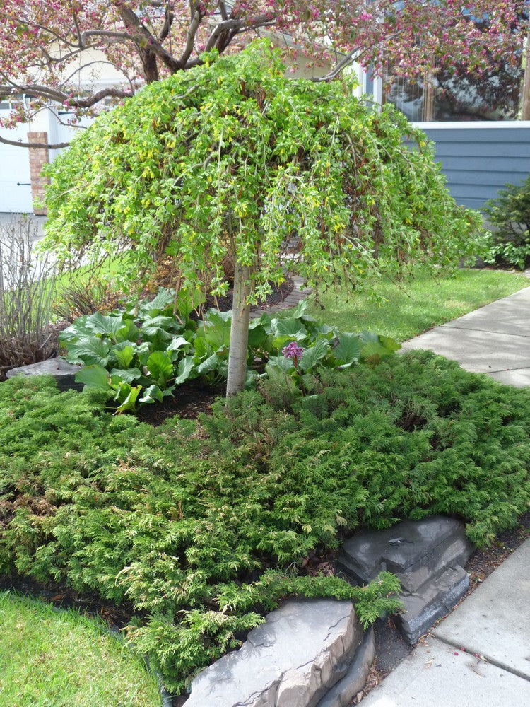 Caragana weeping caragana calgary plants online garden for Weeping evergreen trees for small gardens