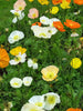 Papaver - Alpine Poppy