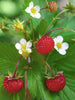Fragaria - Alpine Strawberry