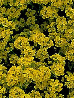 Alyssum - Gold Dust