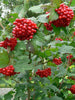 Viburnum - Highbush Cranberry