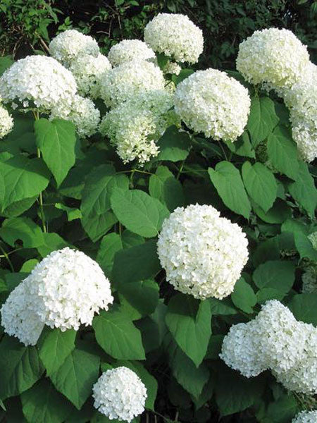 hydrangea annabelle hydrangea calgary plants online garden centre. Black Bedroom Furniture Sets. Home Design Ideas