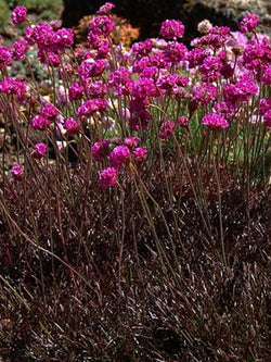 Armeria - Red Leaf Thrift
