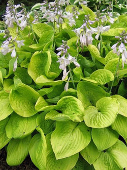 Hostas calgary plants online garden centre quick view hosta august moon hosta mightylinksfo