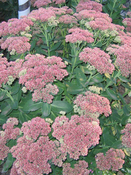 Sedum - Autumn Joy Stonecrop