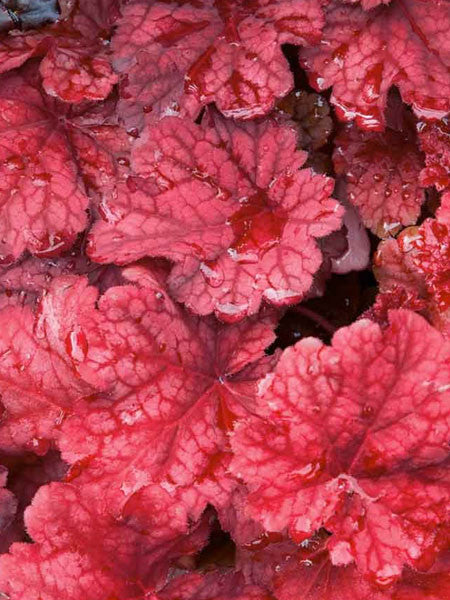 Heuchera - Autumn Leaves Coral Bells