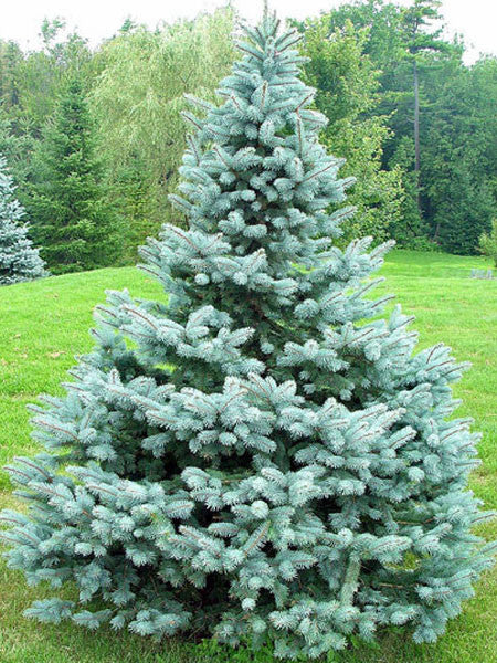 Picea Baby Blue Spruce Calgary Plants Online Garden Centre