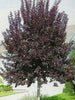 Prunus - Schubert Chokecherry 7 Gallon 6-7 Feet