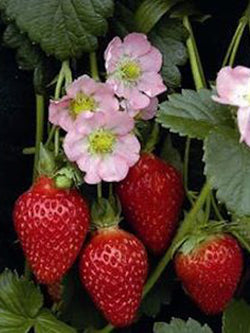 Hanging Basket - Strawberry Berri Basket