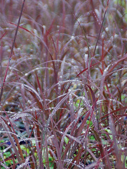 Andropogon - Blackhawks Big Blue Stem Grass