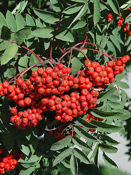 Sorbus - Black Hawk Mountain Ash