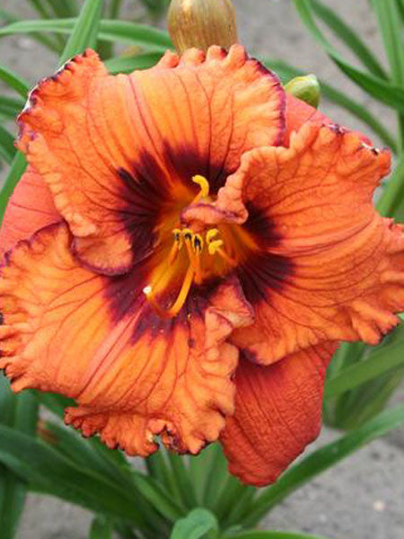 Hemerocallis - Blaze Of Glory Daylily