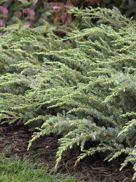 Juniperus - Blueberry Delight® Juniper