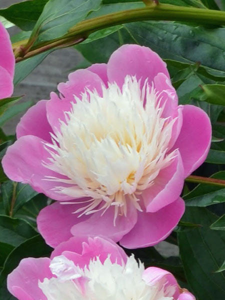 Paeonia - Bowl of Beauty Chinese Peony