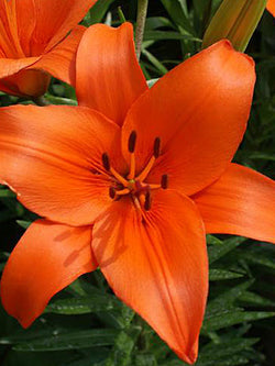 Lilium - Brunello Asiatic Lily