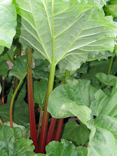 Rhubarb Picture Plant