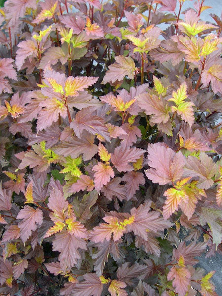 Physocarpus - Center Glow Ninebark