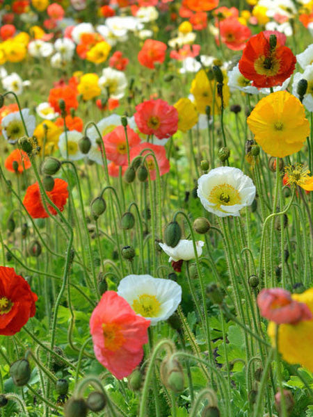 Papaver - Champagne Bubbles Iceland Poppy