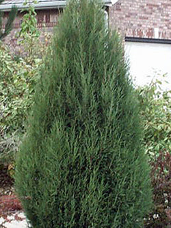 Juniperus - Cologreen Upright Juniper